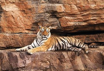 Queen of Ranthambhore, Machhli spotted at the Ranthambhore National Park