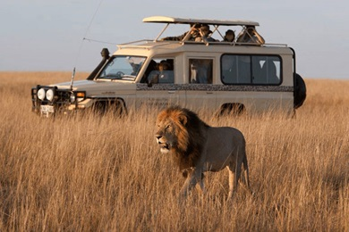 A lion walks majestically past as travellers look on from a safari jeep