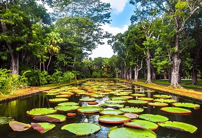 Ramgoolam-botanical-garden-pond-with-victoria-amazonica-giant-water-lilies