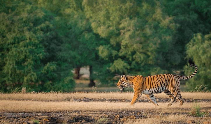 A Perfect Day in the Jungle Experience at The Oberoi Vanyavilas Ranthambhore