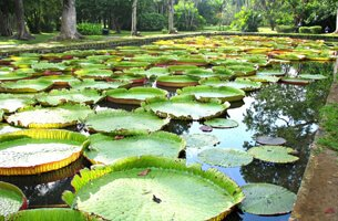 Pamplemousses Gardens With Giant Victoria Amazonica Water Lilies - Weekend Getaways - The Oberoi, Mauritius