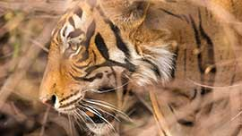 Home of Tiger, The Ranthambhore National Park - The Oberoi Vanyavilas, Ranthambhore